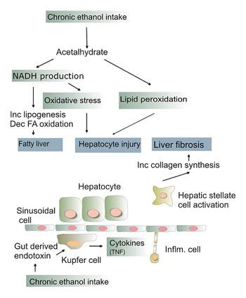 Kebiasaan Minum Alkohol dan Infeksi Virus Penyebab Utama Hepatitis dan Kanker Hati