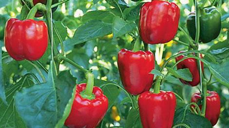 paprika merah - mitalom.com