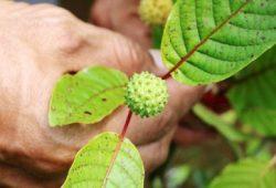 Mengenal Daun Kratom, Obat Herbal yang Diklaim Serupa Narkoba