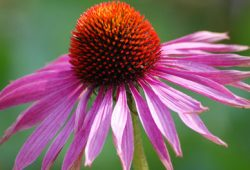 Echinacea Efektif Meredakan Pilek dan Flu?