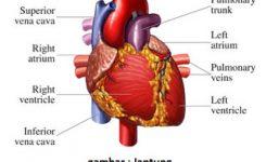 anatomijantung