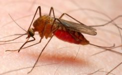 Anopheles mosquito – dangerous vehicle of infection; Shutterstock ID 21969283; PO: aol; Job: production; Client: drone